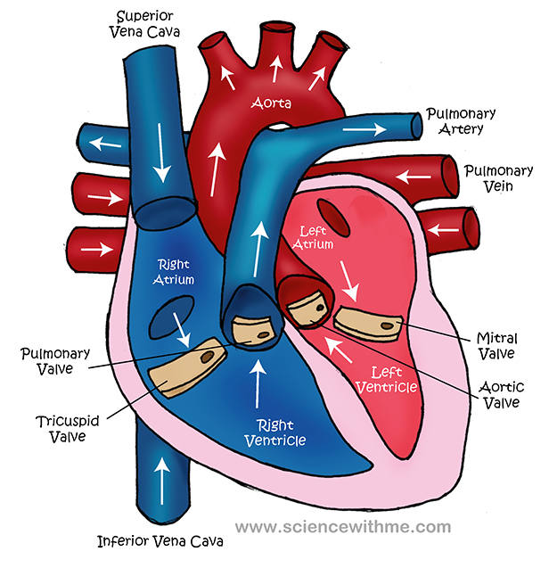 Heart diagram whitehorse veterinary hospital heart diagram ccuart Images